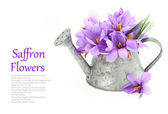 Saffron flowers in a watering can — Stock Photo