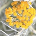 Close up of fresh achillea millefolium or common yarrow — Stock Photo #27298021