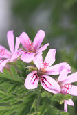 Close up of fresh geranium leaves — Stock Photo