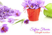 Saffron flowers on white background — Stock Photo