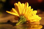 Yellow chrysanthemum with raindrops macro shot — Stock Photo