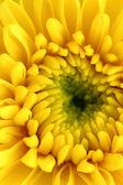 Yellow chrysanthemum center close-up shot — Stock Photo