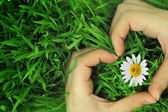 Hands hugging grass and daisy in shape of heart — Stock Photo