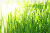 Bright sunny background with grass and water droplets, horizontal — Stock Photo