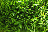 Green grass fresh background — Stock Photo