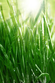 Fresh green grass with sunlight and water droplets — Stock Photo