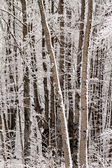 Forest with snow covered trees — Stock Photo