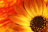Plano macro de flor de naranja con pétalos y polen — Foto de Stock