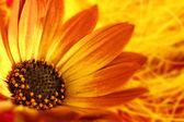 Macro shot of orange flower with petals and pollen — Stock Photo