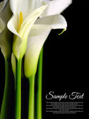 Beautiful white Calla lilies with reflection on black background — Stock Photo