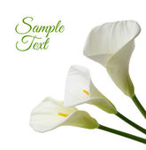 Beautiful white Calla lilies isolated on white background — Stock Photo
