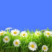 Flores blancas con pasto y espacio de copia sobre fondo azul — Foto de Stock
