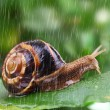 Snail crawling on leaf with rain and green background — Stock Photo