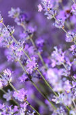 Lavender flowers in the field closeup — Stock Photo