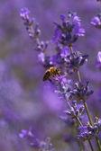Honey bee on blooming lavender flowers closeup  — ストック写真