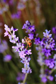 Honey bee on blooming lavender flowers closeup  — Stock Photo