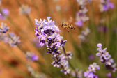 Honey bee with blooming lavender flowers closeup  — Stock Photo