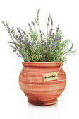 Fresh lavender plant in a clay pot — Photo