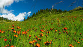 Hills, meadows in orange flowers and a green grass — Stock Photo