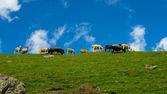 Green hill and herd of the sheep against the background of dark blue sky — Stock Photo