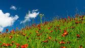在橙色鲜花和绿草草甸 — 图库照片
