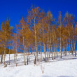Birchwood with yellow leaves in winter, on white snow — Stock Photo #29966101