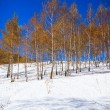 Birchwood in the winter, with yellow leaves on white snow — Stock Photo #29966117