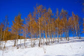 Birchwood with yellow leaves in the winter, on white snow — Stock Photo