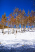 Birchwood in the winter, with yellow leaves on white snow — Stock Photo
