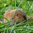 Small amusing and brown animal - Shrew in green grass. — Stock Photo #31501173