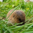 Shrew - amusing, brown small animal in green grass. — Stock Photo #31502917