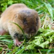 Amusing, brown small animal the shrew in a green grass. — Stock Photo