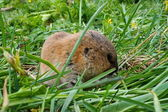 Small amusing and brown animal - Shrew in a green grass. — Stock Photo