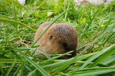 Shrew - amusing, brown small animal in a green grass. — Stock Photo