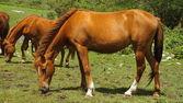Das braune pferd ist auf einer wiese weiden — Stockfoto