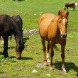 Black and brown horses on meadow — Stock Photo #31592699
