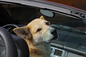 The dog goes in the open car. — Stock Photo