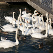 Swans and Ducks in Water at Lake Geneva — Stock Photo