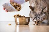 Woman feeding hungry pet cat — Stock Photo