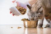 Woman feeding hungry pet cat — Stock Photo