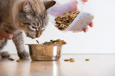 Young cat eating at home from its bowl. Female hand adding food — Stok fotoğraf