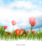 Beautiful red tulips on scenic sky and white copyspace at the bo — Stock Photo