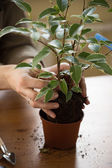 Woman replanting tree at new pot — Stock Photo