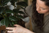 Woman planting ficus tree in pot — Foto Stock