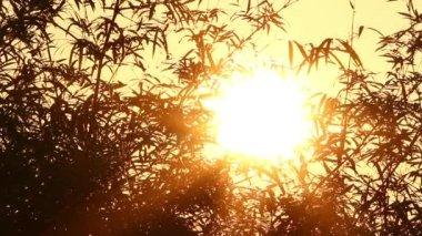 Lever du soleil et bambou 2 — Vidéo