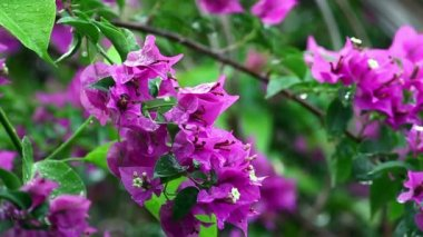 Bougainvillea In The Rain — Stock Video