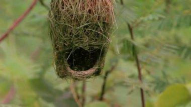Baya weaver (Ploceus philippinus) nest — Stockvideo