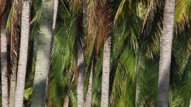 Coconut Plantation 1 — Stock Video