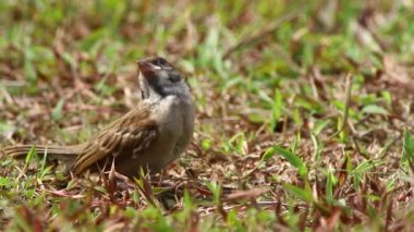 House Sparrow — Stock Video