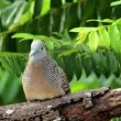 Stock Video: Zebra Dove (Geopelia striata)